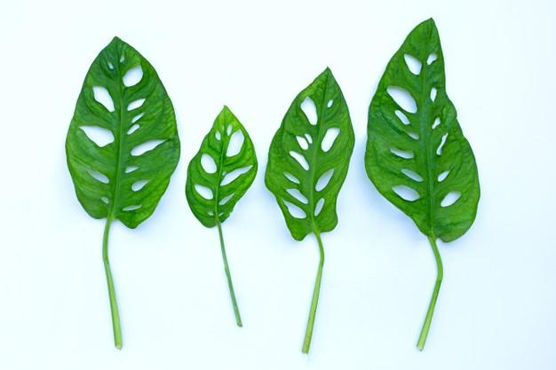 Cara merawat tanaman hias janda bolong indoor © freepik.com