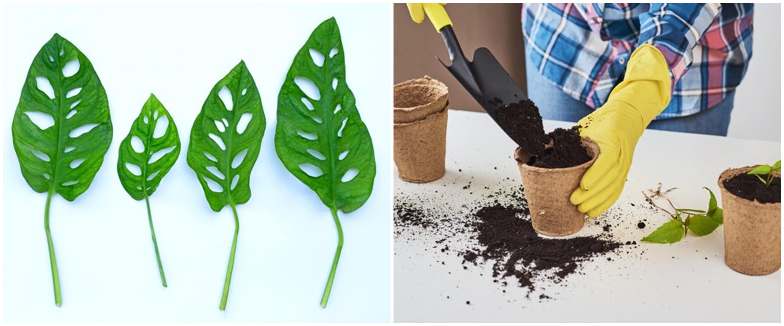 Cara merawat tanaman hias janda bolong indoor dan cara budidayanya