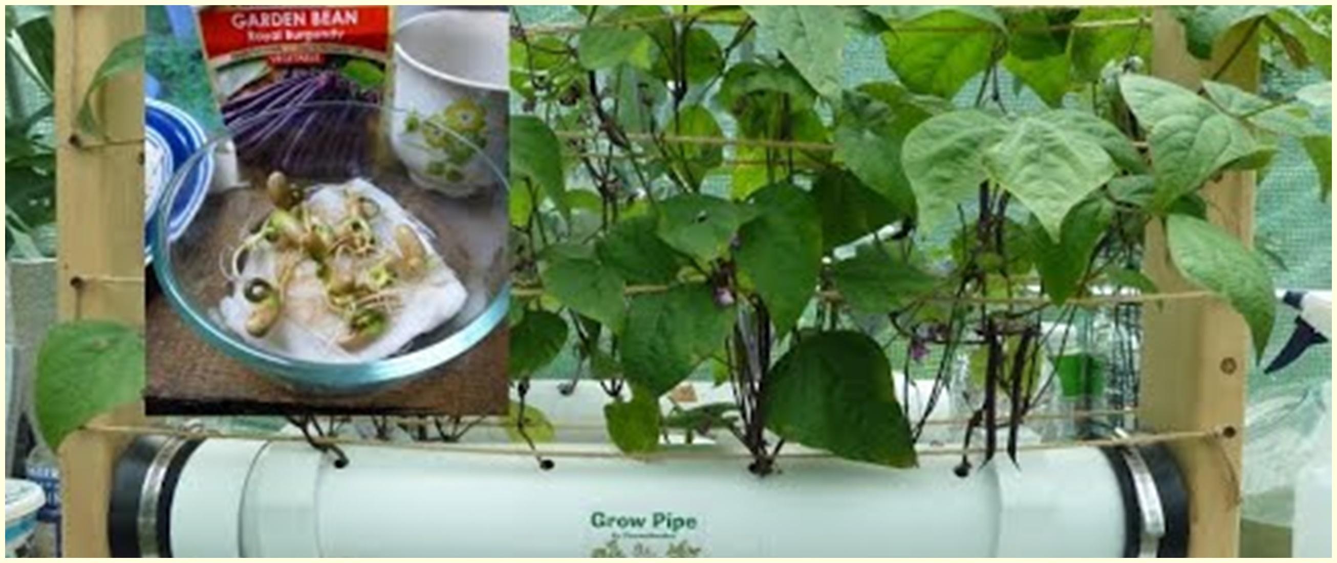 Cara menanam hidroponik kacang hijau, mudah dan sederhana