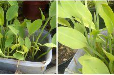 Cara menanam genjer hidroponik, mudah dan hasilnya memuaskan