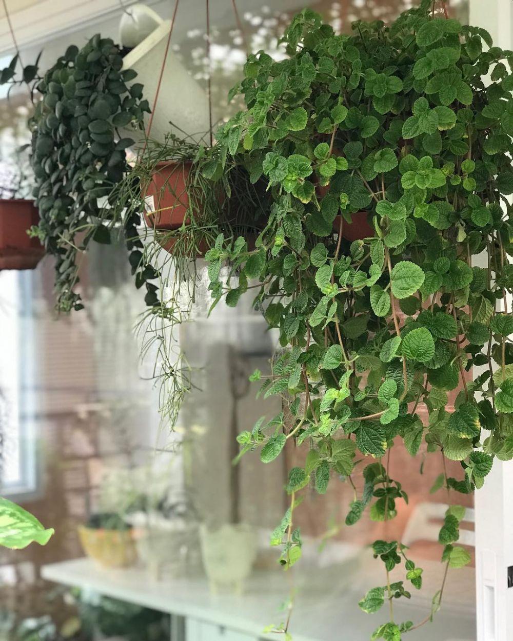 tanaman hias gantung daun kecil © Instagram