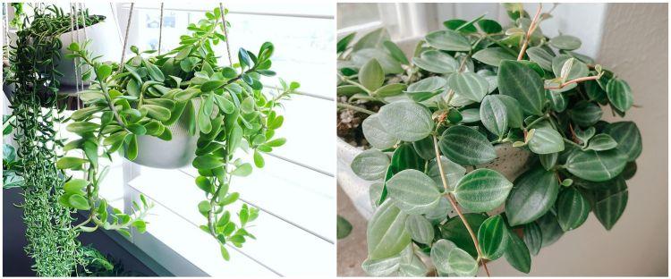 10 Tanaman hias gantung daun kecil, cocok buat indoor dan outdoor