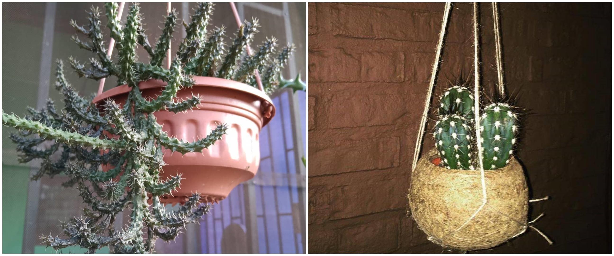 10 Tanaman hias gantung kaktus, populer dan mudah dirawat