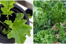 Cara menanam hidroponik kale, dari pembibitan hingga panen