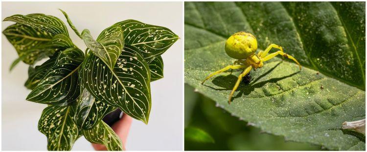 6 Penyebab aglonema berubah kuning dan cara mengatasinya