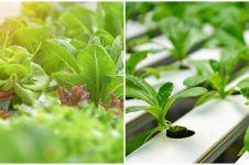 6 Faktor yang memengaruhi pertumbuhan tanaman hidroponik