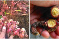 Cara menanam hidroponik jahe merah, mudah dan praktis