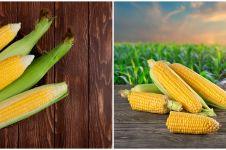 Cara menanam hidroponik jagung manis, mudah dan hasilnya memuaskan