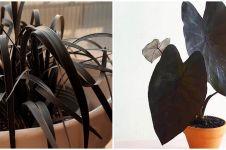 10 Tanaman hias daun hitam, elegan dan eksotis buat dekorasi