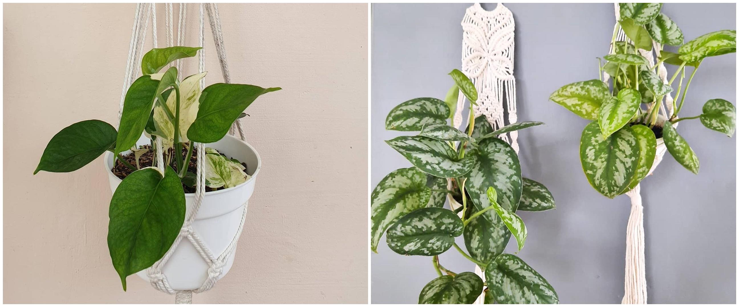 10 Tanaman hias gantung daun sirih, cantik dan mudah dirawat