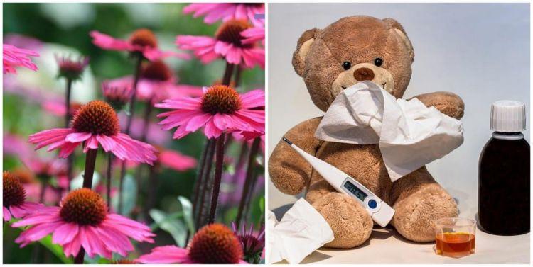 Deretan manfaat Echinacea purpurea, atasi infeksi saluran pernapasan