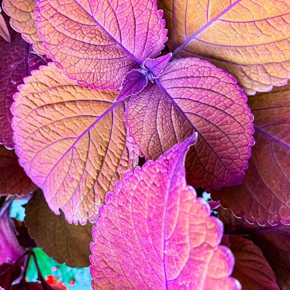 tanaman obat daun merah © Instagram
