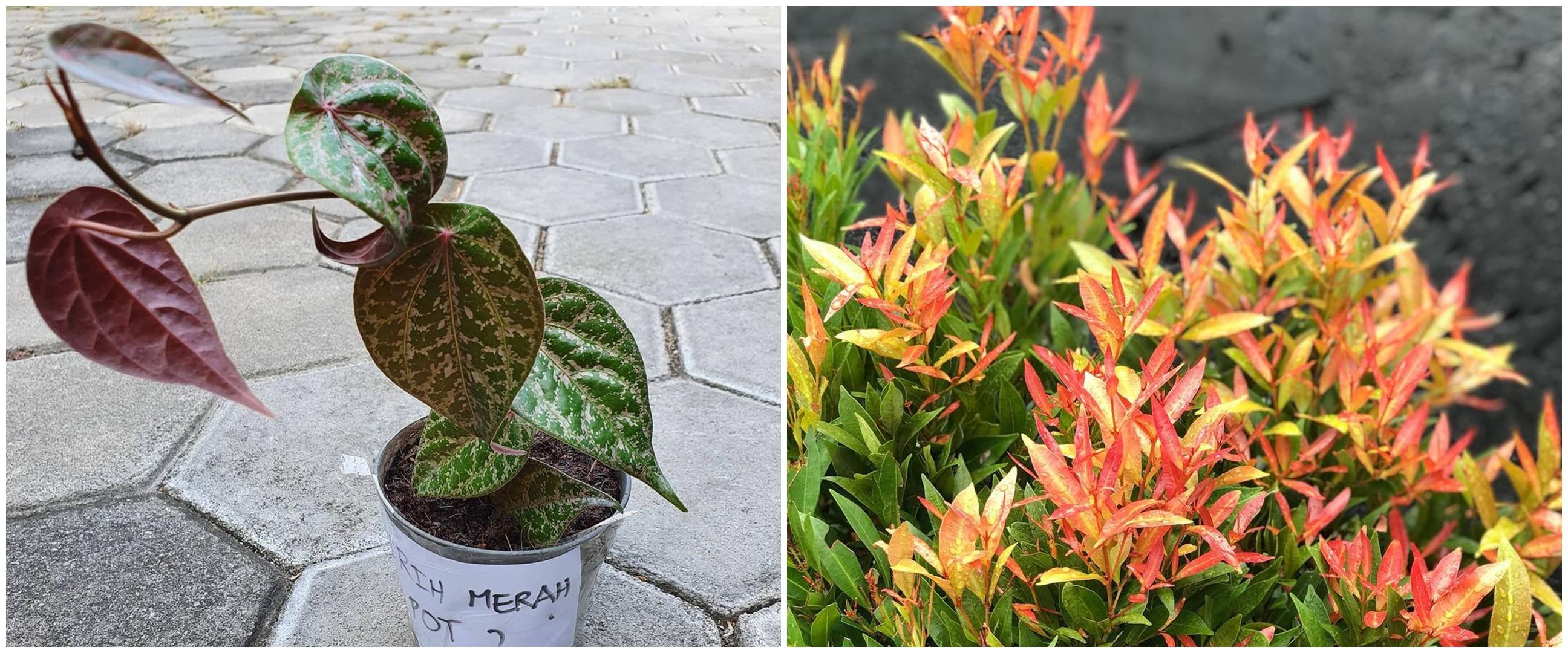 4 Jenis tanaman obat daun merah, termasuk daun sirih