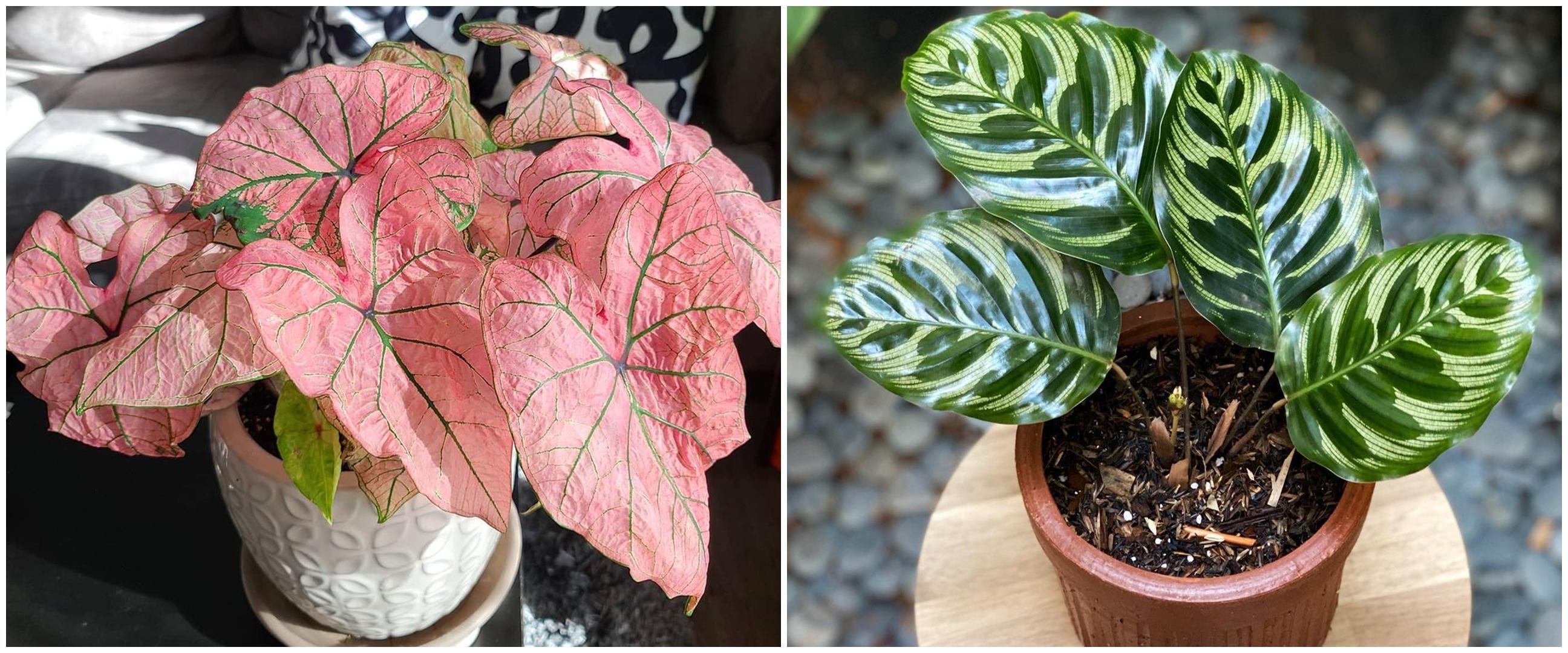 7 Tanaman hias daun dua warna, cantiknya bikin suasana lebih hidup