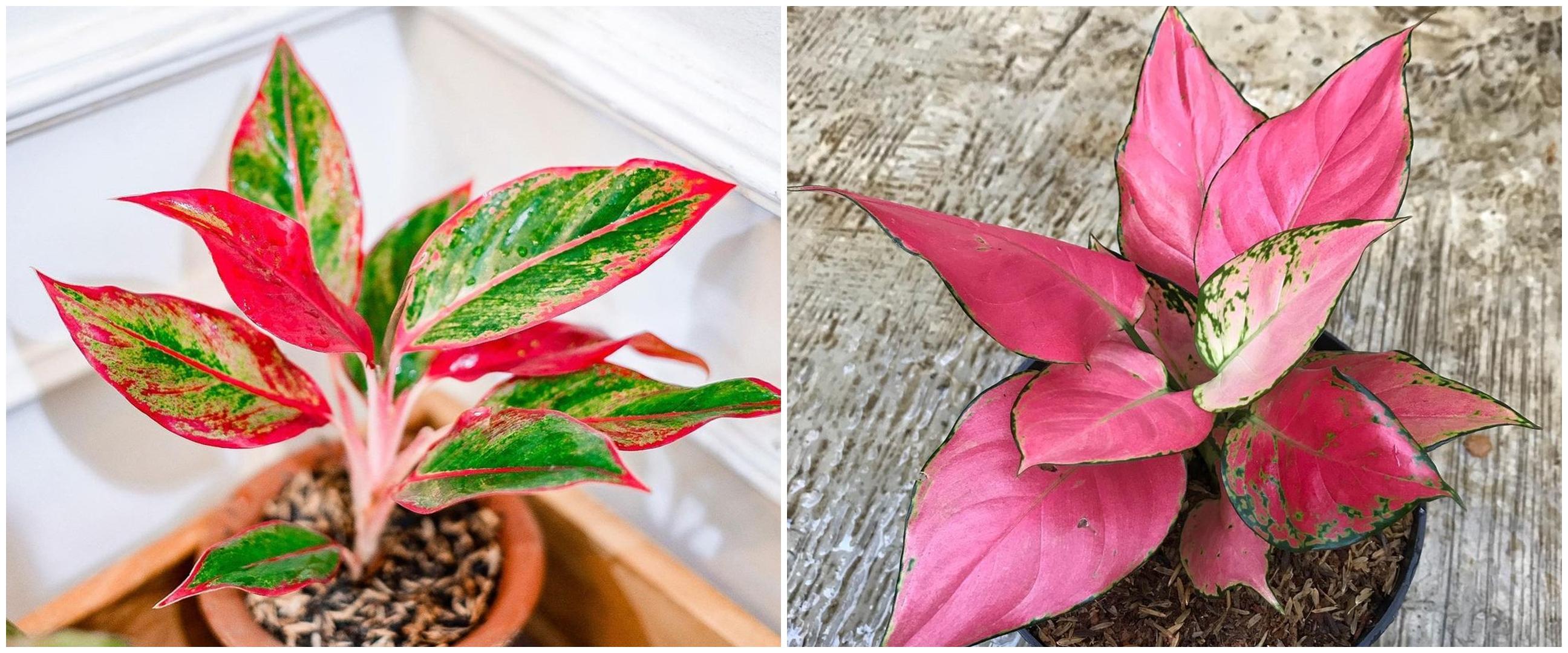 6 Jenis tanaman hias daun sri rejeki yang banyak dicari