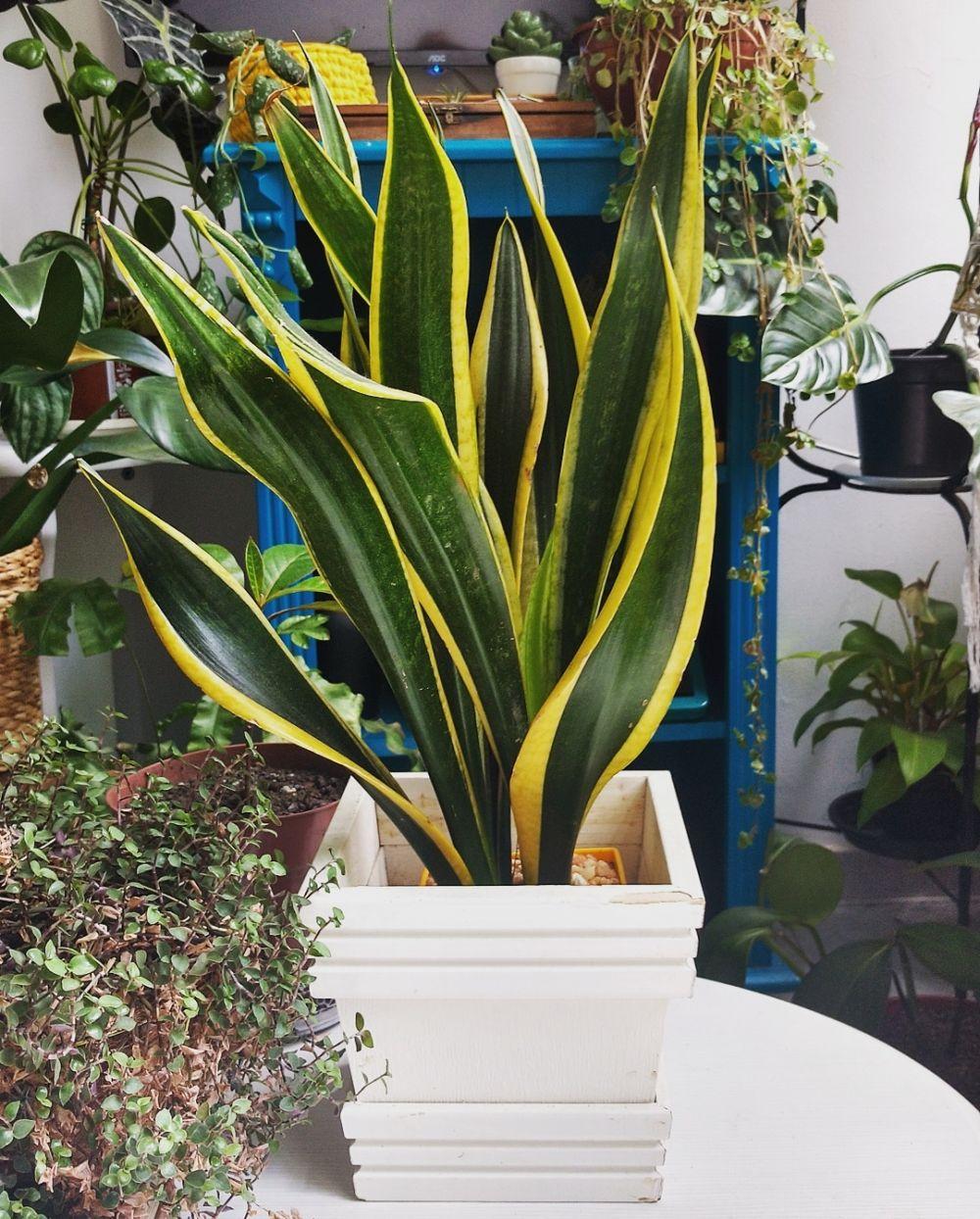Jenis tanaman lidah mertua indoor © Instagram