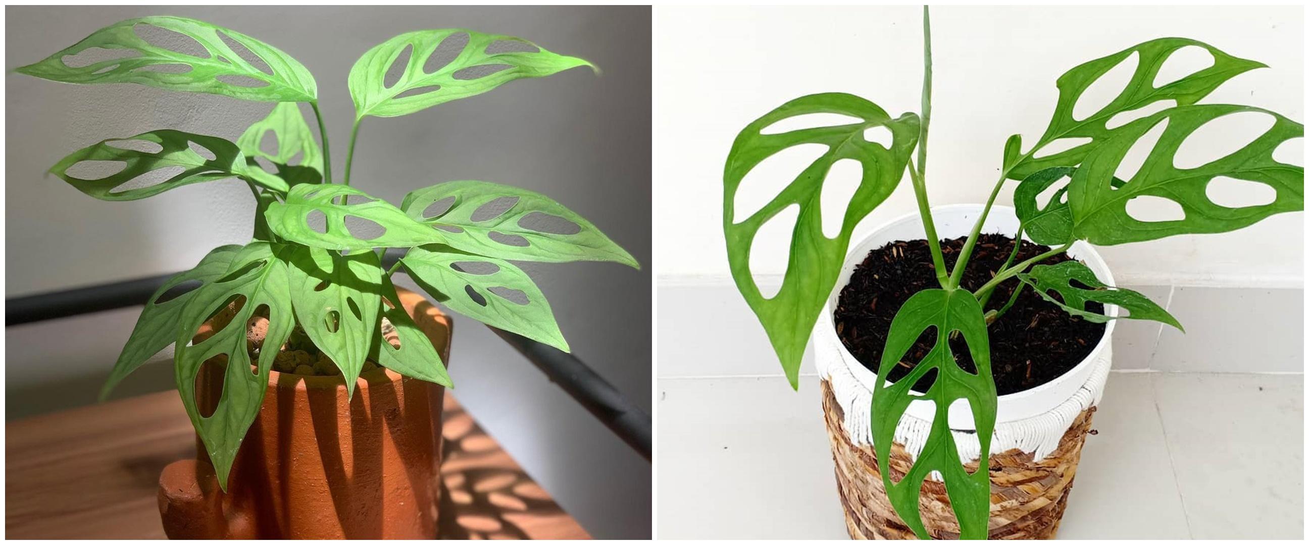 Mengenal tanaman hias janda bolong, nama latin, sejarah dan jenisnya