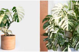 Harga janda bolong tanaman hias 2 warna beserta tips merawatnya