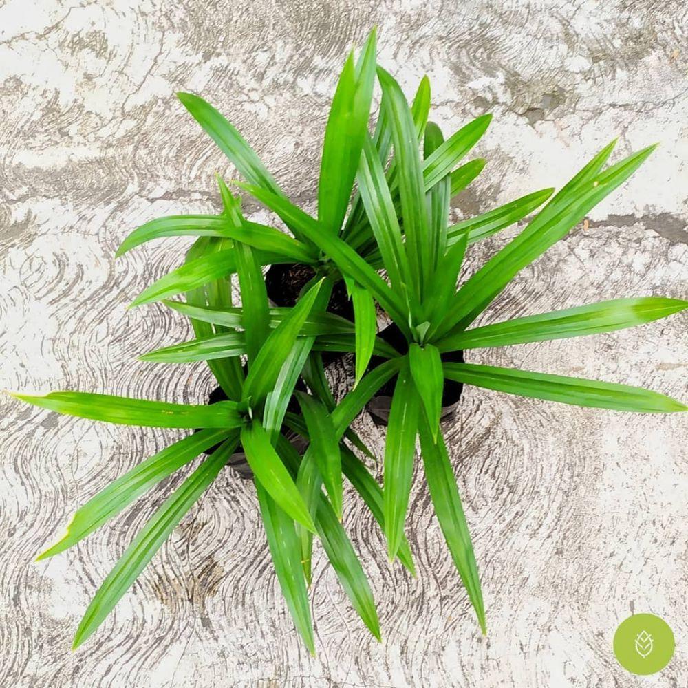 tanaman penambah nafsu makan © Instagram