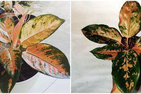 Cara merawat bunga aglaonema kochin tembaga, mudah dan simpel