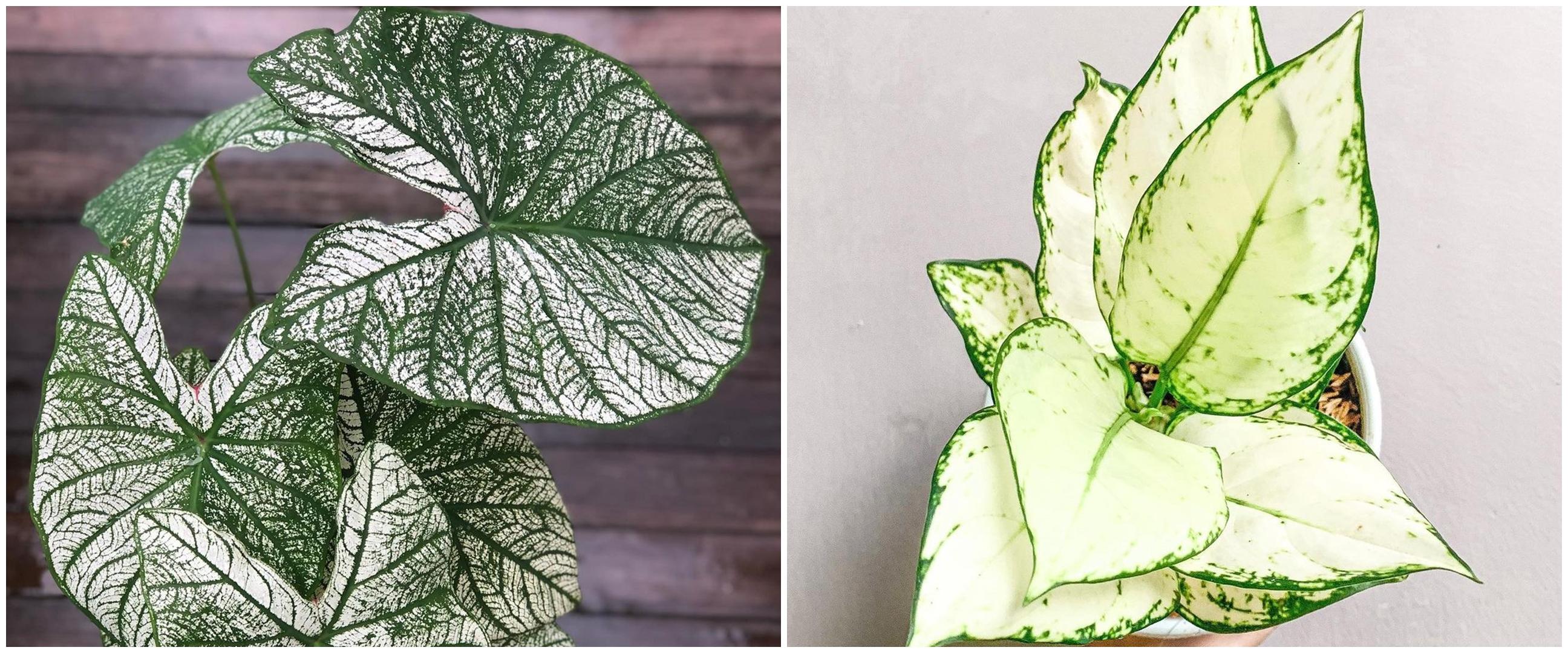 8 Tanaman hias daun hijau putih, bikin suasana rumah lebih berwarna