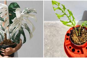 Daftar tanaman hias janda bolong termahal dan kelebihannya