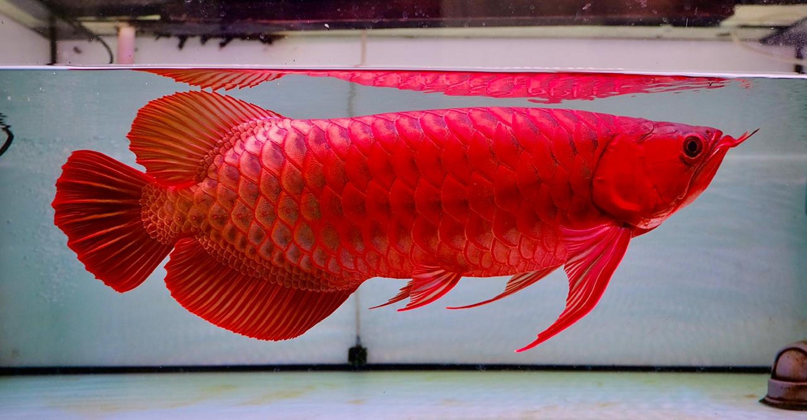 5 Fakta kontes & pameran arwana, ikan naga pembawa hoki asli Indonesia