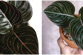 Harga bunga aglonema rotundum Aceh, dan cara merawatnya