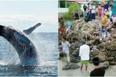 Viral video 52 ikan paus terdampar di laut Madura, fenomena langka