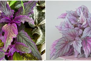 7 Tanaman hias gantung ungu, unik dan mudah dirawat