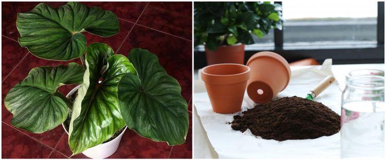 Cara merawat tanaman hias daun, tumbuh subur dan cantik