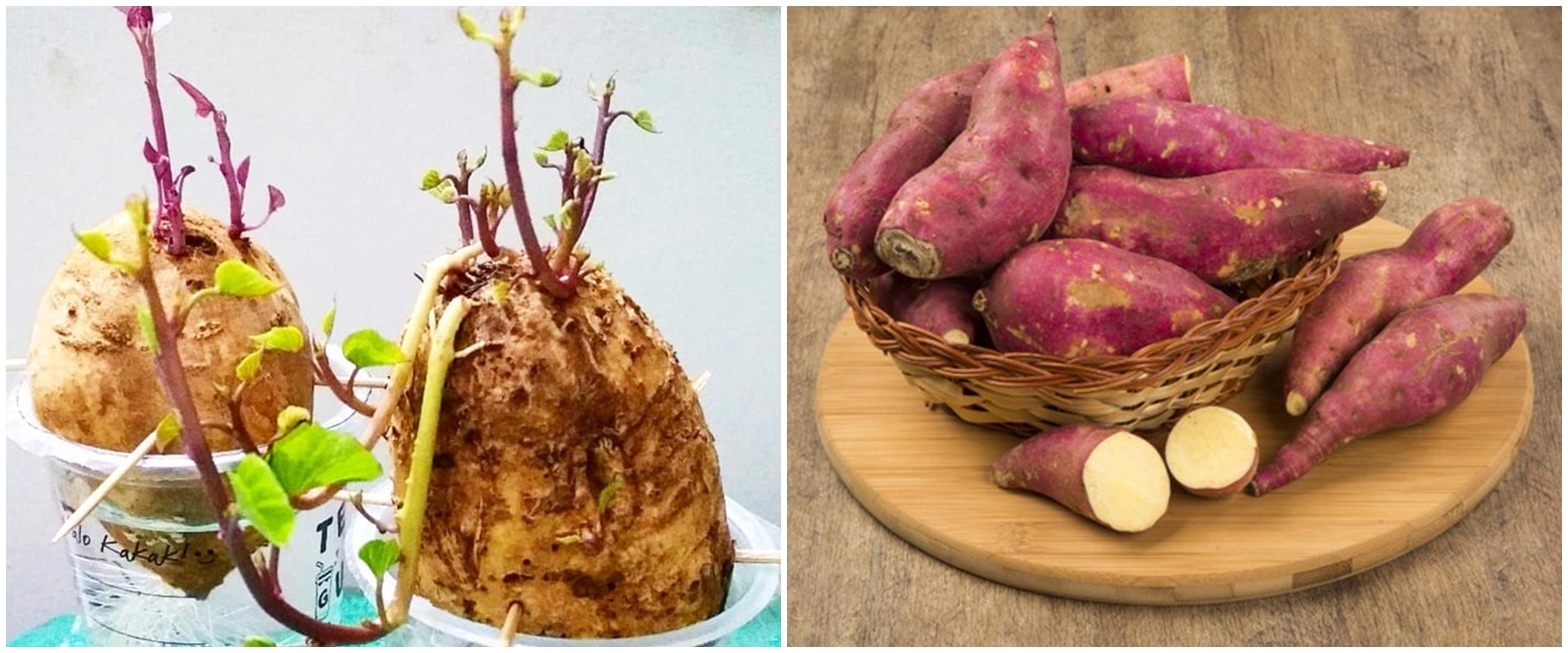 Cara menanam tanaman hidroponik ubi, mudah dan praktis