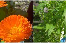 8 Tanaman hidroponik musim hujan, tahan air dan mudah dirawat