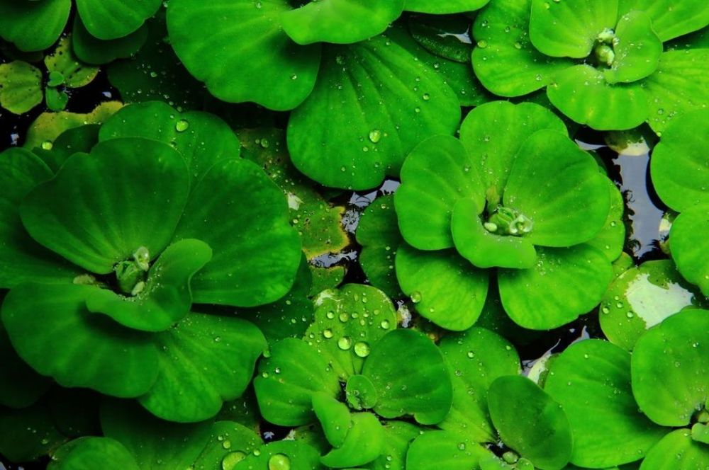 tanaman rambat hidroponik © Instagram