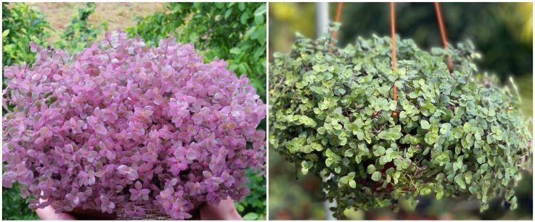Cara merawat tanaman gantung kribo agar subur dan awet