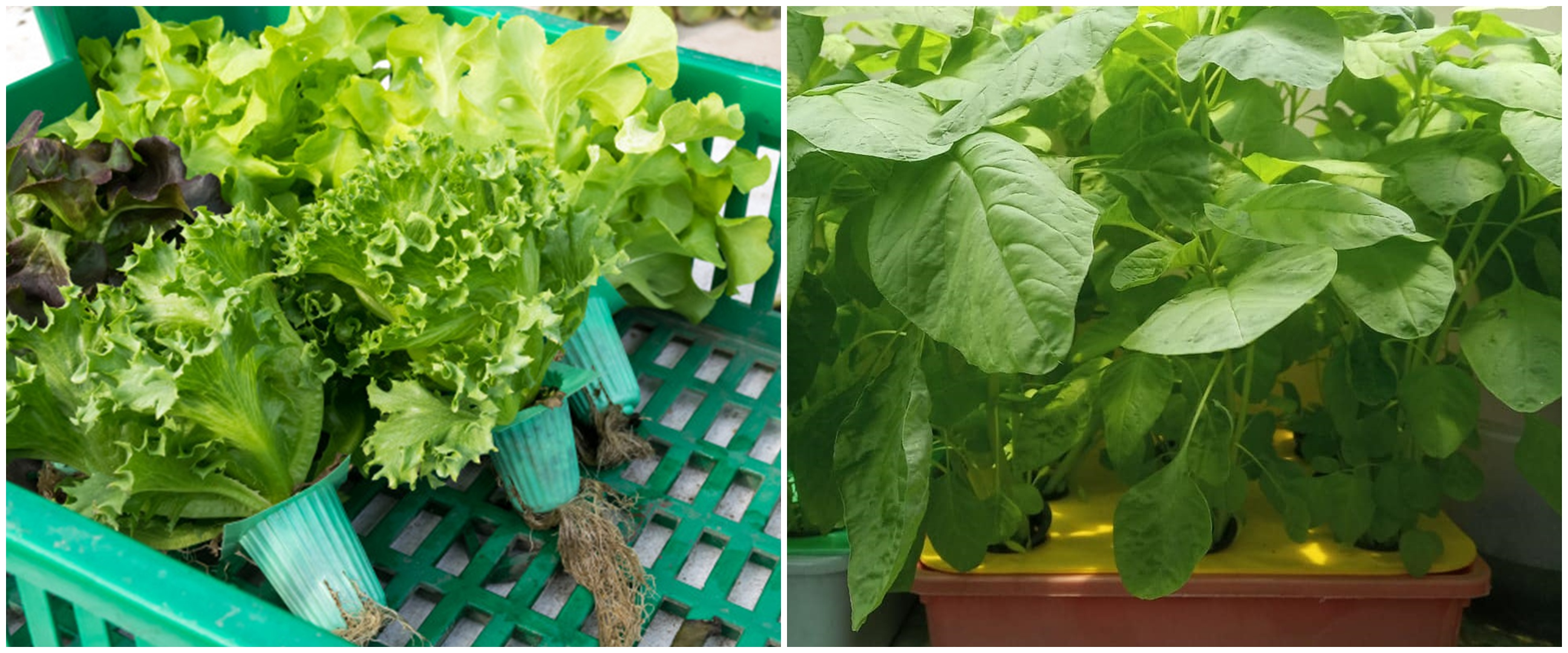 7 Tanaman hidroponik rumahan, mudah ditanam dan cocok untuk bisnis