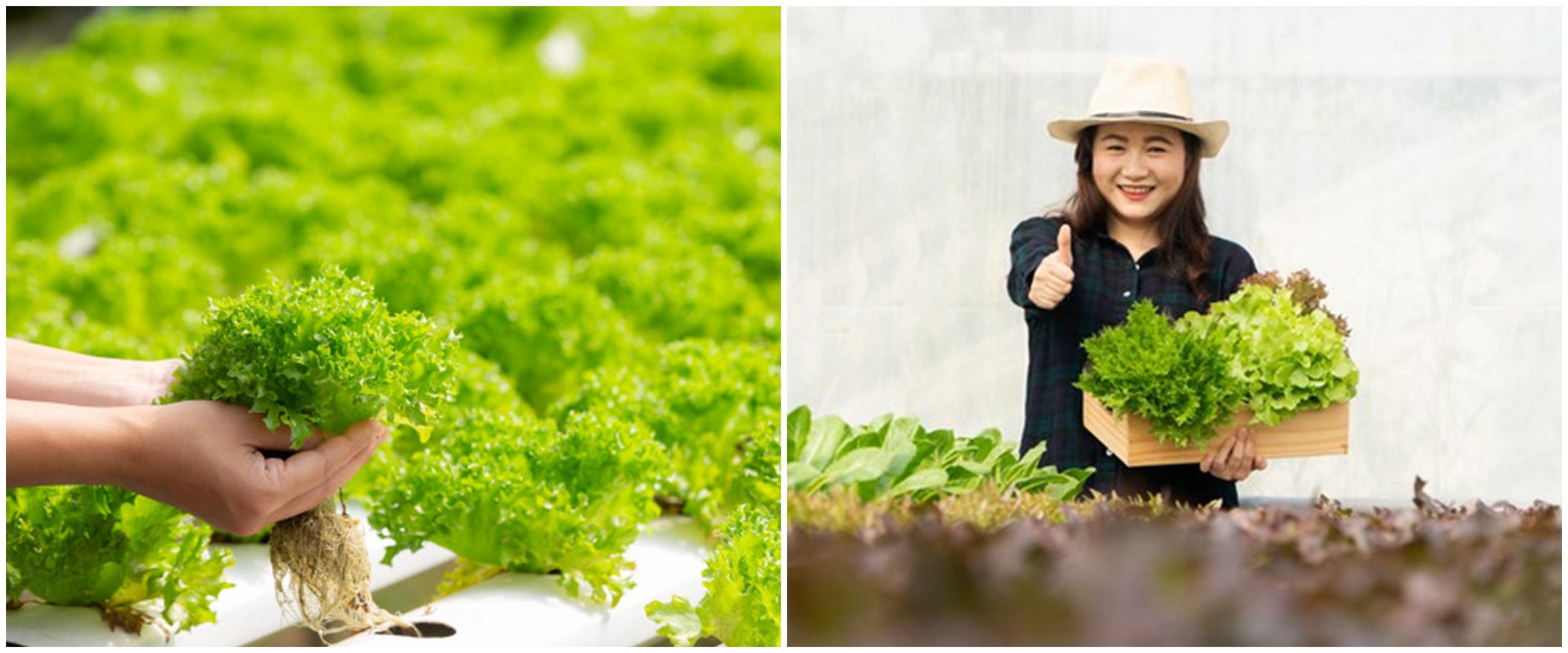 9 Kelebihan tanaman hidroponik yang wajib diketahui
