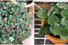 7 Jenis tanaman hias daun fittonia, unik dan eksotis