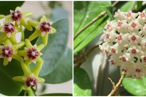 7 Macam tanaman hias gantung hoya, cantik dan segar