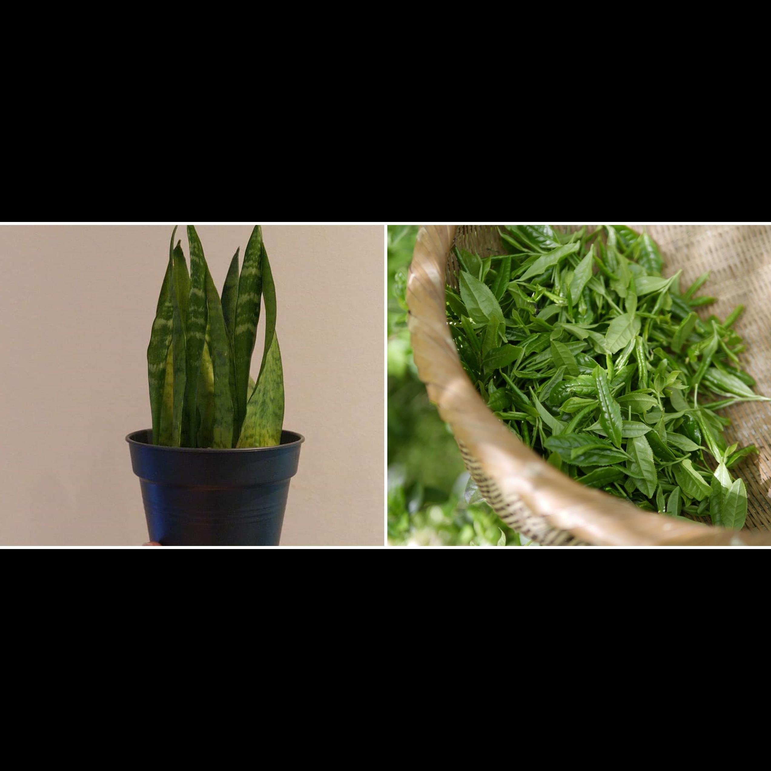 Lidah mertua dan 6 tanaman ini mampu menyuburkan rambut secara alami