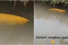 Viral temuan ikan di parit, diduga Arwana Golden senilai Rp 20 juta