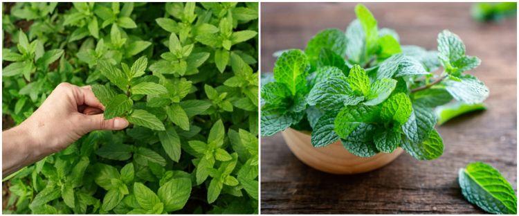 5 Cara menanam tanaman hias daun mint dari batang, mudah dan cepat