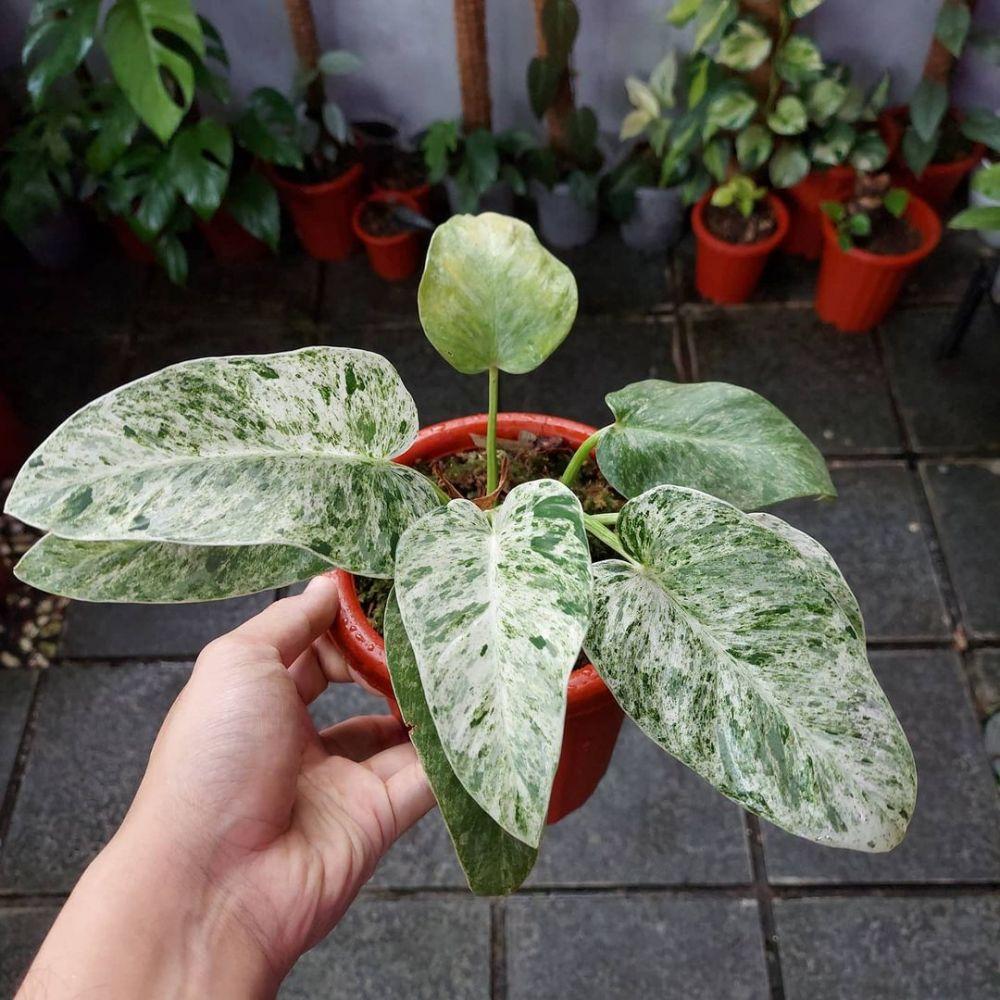 Jenis tanaman hias gantung variegata Instagram © 2021 brilio.net