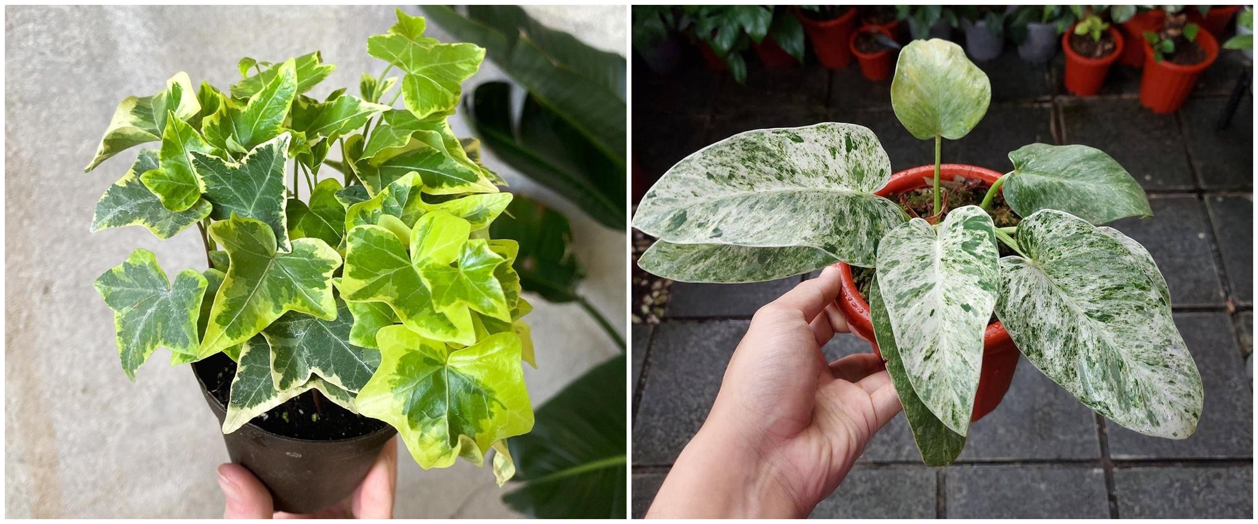 7 Jenis tanaman hias gantung variegata, cantik dan unik