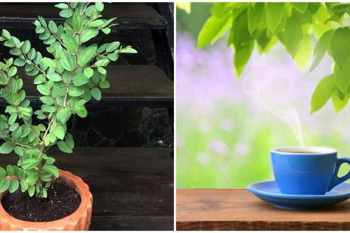 Cara membuat teh bidara, minuman herbal yang kaya manfaat