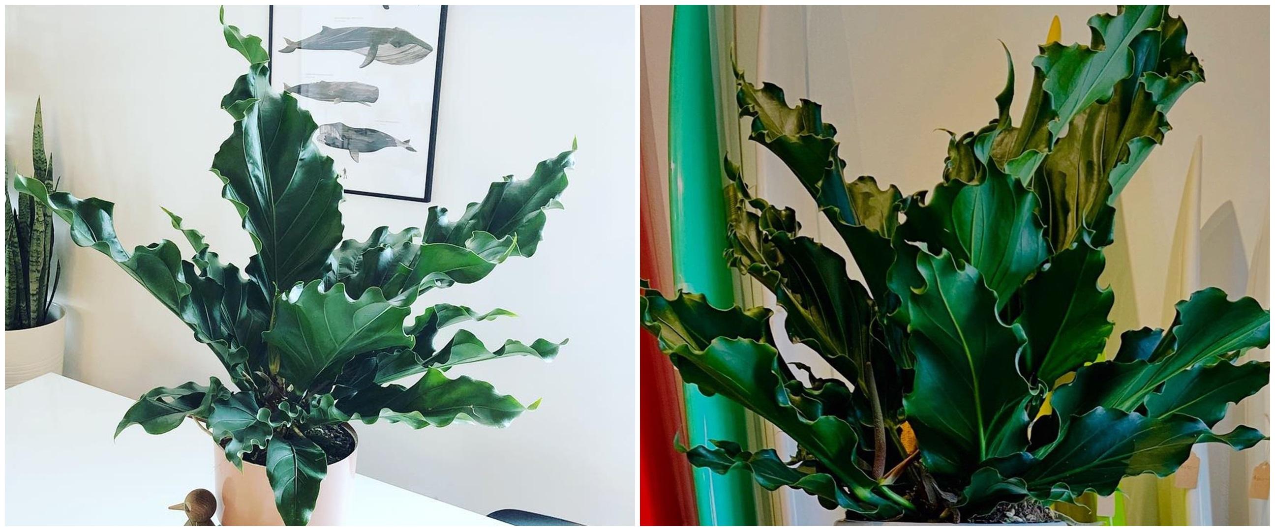 Cara merawat tanaman hias daun gelombang cinta agar subur dan cantik