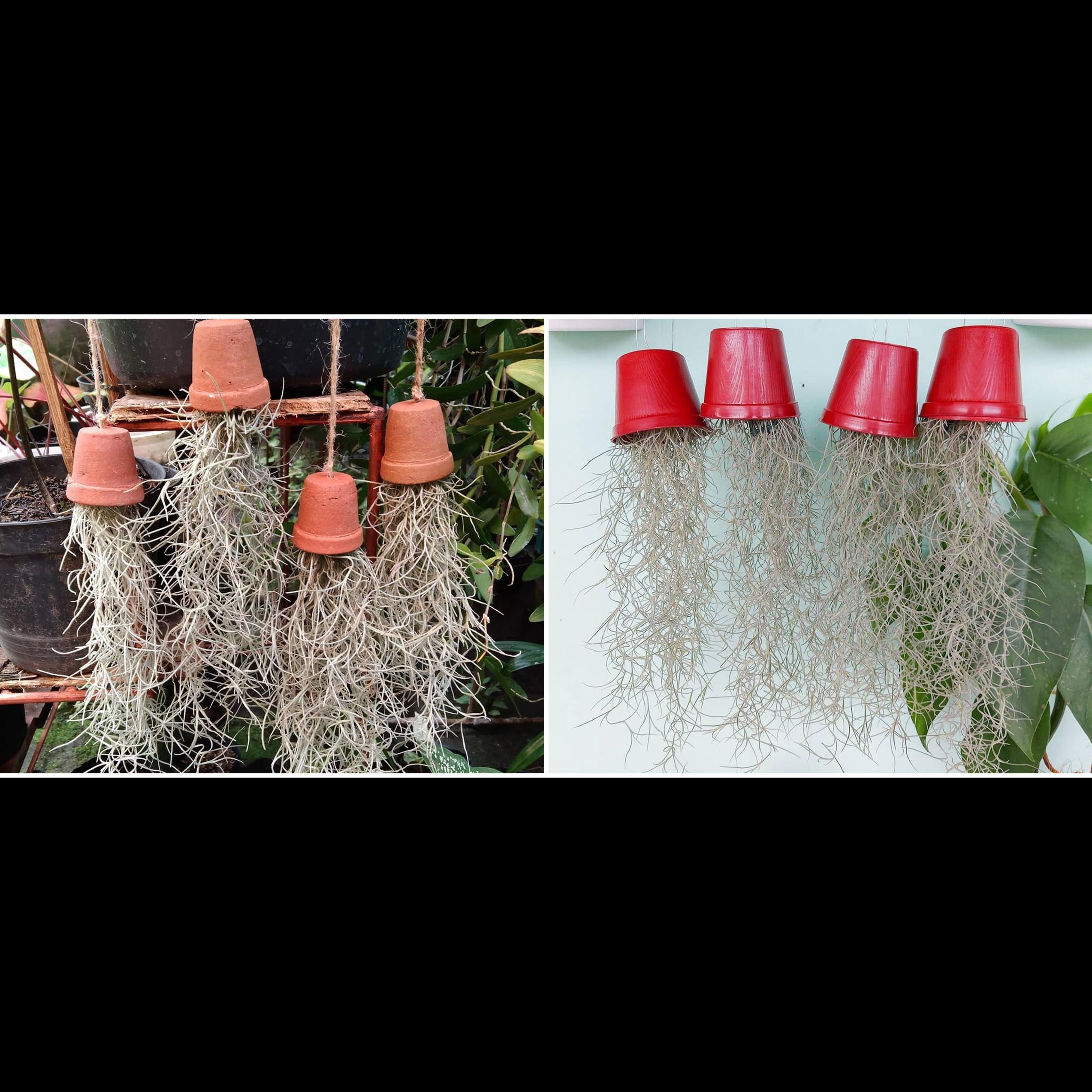 Cara merawat tanaman hias gantung jenggot musa, unik dan mudah