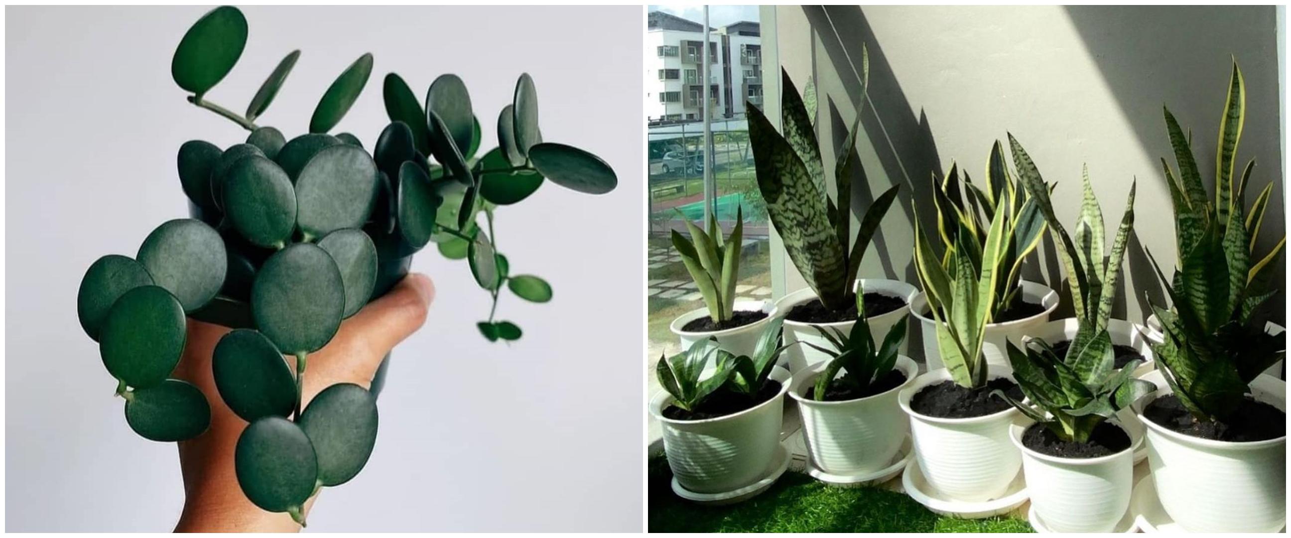 Lidah mertua dan 4 tanaman hias ini bisa meningkatkan oksigen di rumah