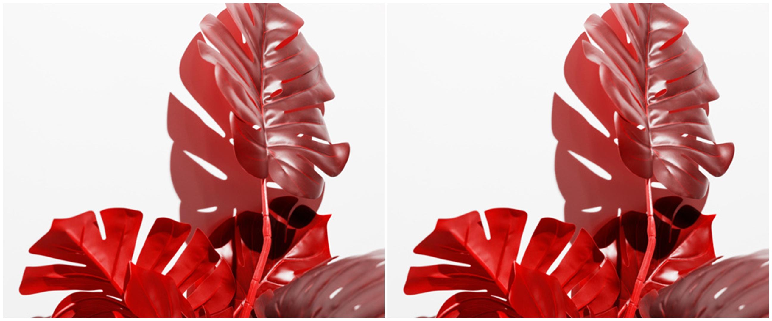 Cara menanam dan merawat janda bolong tanaman hias warna merah