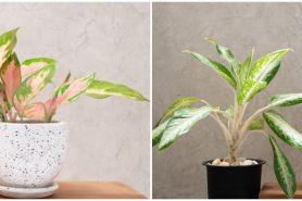 7 Cara merawat bunga aglonema agar tetap indah dan subur